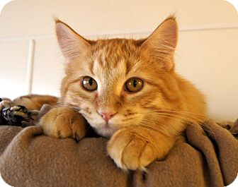 Maine Coon Kitten for Sale in Colorado Springs, Colorado - Boomer