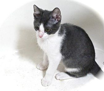 Domestic Shorthair Cat for adoption in Apex, North Carolina - Shortstack