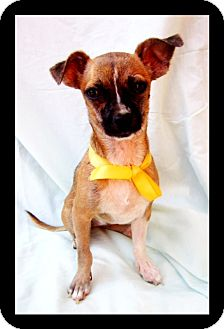 Chihuahua Mix Puppy for adption in San Diego, California - LITTLE BONES