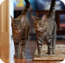 Domestic Shorthair Cat for Sale in Medford, Massachusetts - Sir Salt