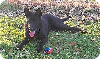 German Shepherd Dog/Labrador Retriever Mix Dog for Sale in Nashville, Tennessee - Jet
