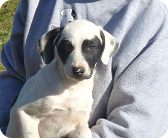 Labrador Retriever/Australian Shepherd Mix Puppy for Sale in Glastonbury, Connecticut - Tucker- meet me!