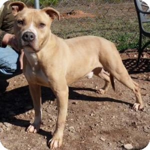 Pit Bull Terrier Mix Dog for Sale in Athens, Georgia - Milo
