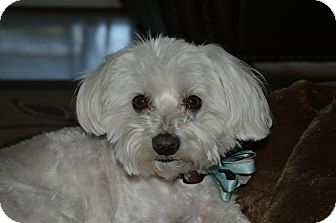 Maltese Dog for Sale in Irvine, California - SAMMY