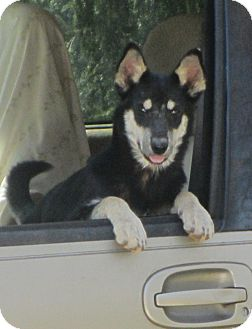 Australian Kelpie/Husky Mix Dog for Sale in Lincolnton, North Carolina - Tok