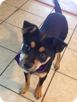 Miniature Pinscher/Terrier (Unknown Type, Small) Mix Dog for Sale in Conway, Arkansas - Rocky