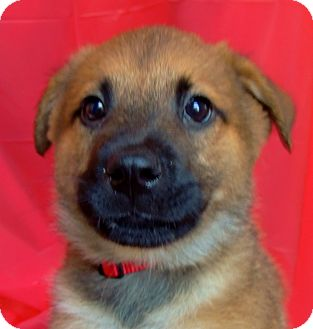 German Shepherd Dog/Husky Mix Puppy for Sale in Thousand Oaks, California - Dasher