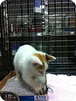Domestic Shorthair Kitten for Sale in Pittstown, New Jersey - Roxie