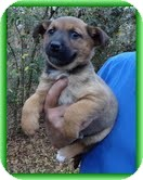 Feist/Shepherd (Unknown Type) Mix Puppy for Sale in Spring Valley, New York - Posey