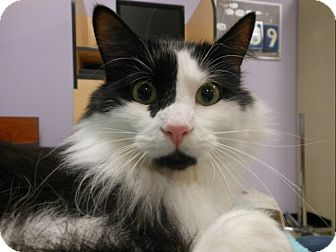 Domestic Longhair Cat for adoption in Sterling, Virginia - Harley