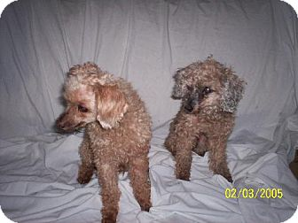 Poodle (Miniature) Dog for adption in Queen Creek, Arizona - Fred & Ginger