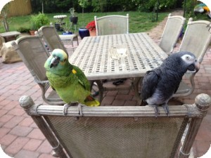 African Grey for adoption in Tampa, Florida - Ziggy &amp; Rickie