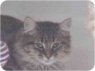 Maine Coon Cat for adoption in Union Lake, Michigan - Jellie>^.,.^< $35 adoption