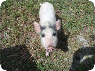 Pig (Potbellied) for Sale in Palm City, Florida - Claire