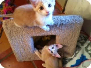Domestic Mediumhair Kitten for Sale in Weatherford, Texas - Buffy & Jody
