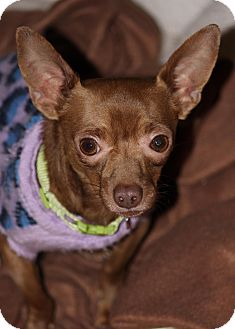 Chihuahua Mix Dog for adption in Westminster, Colorado - Henry