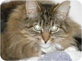 Domestic Longhair Cat for adoption in Fort Bragg, California - Princess