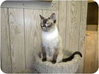 Siamese Cat for adoption in Bartlett, Illinois - Gus