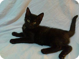 Domestic Shorthair Cat for adoption in Mississauga, Ontario, Ontario - Virginia Woolf
