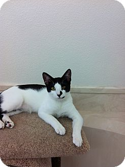 Domestic Shorthair Kitten for adoption in Borrego Springs, California - Sassy