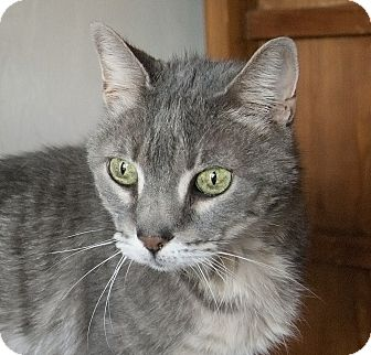 Domestic Shorthair Cat for adoption in Naples, Florida - Siobhan