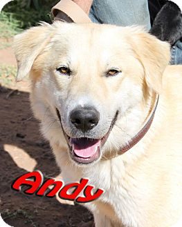 Labrador Retriever/Golden Retriever Mix Dog for adption in Midland, Texas - Andy