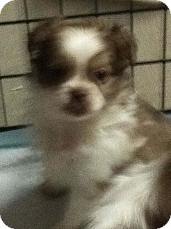 Pekingese/Pekingese Mix Puppy for Sale in Hazard, Kentucky - Skiddles