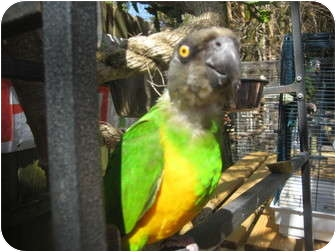 Parrot - Other for Sale in Melbourne Beach, Florida - Piwi