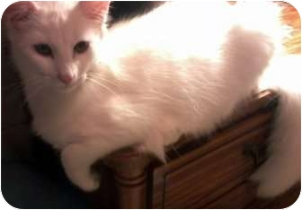 Domestic Longhair Cat for adoption in Jacksonville, Florida - Parker