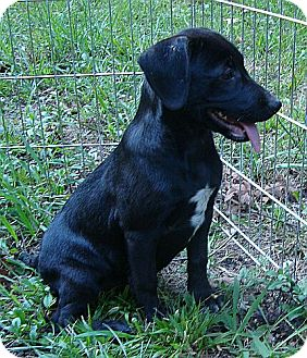 Labrador Retriever Mix Puppy for Sale in Harrisonburg, Virginia - Monday ($275 fee)