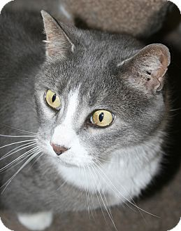Domestic Shorthair Cat for adoption in Plainville, Massachusetts - Katydid