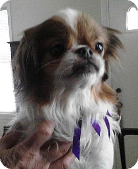 Japanese Chin Dog for Sale in Youngstown, Ohio - Bubba ~ Adoption Pending