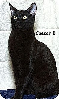 Domestic Shorthair Kitten for adoption in Sacramento, California - Caesar B