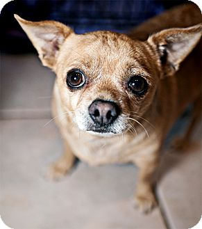 Chihuahua Dog for adption in Phoenix, Arizona - Marley