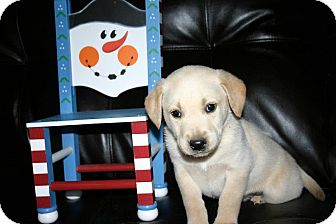 Labrador Retriever Mix Puppy for Sale in Glastonbury, Connecticut - Denver