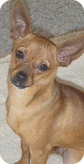 Italian Greyhound/Chihuahua Mix Dog for Sale in Seattle, Washington - Linus