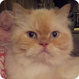 Himalayan Cat for Sale in Columbus, Ohio - Montana