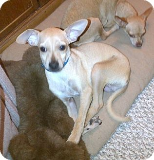 Chihuahua Puppy for adption in Chandler, Arizona - Tripee