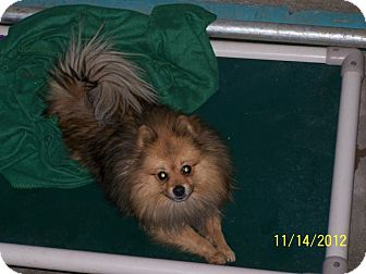 Pomeranian Mix Dog for Sale in Seattle, Washington - Happy