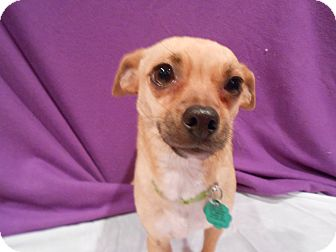 Chihuahua Mix Dog for Sale in Westminster, Colorado - Pasha