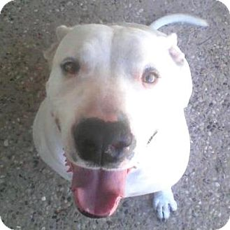 Dogo Argentino Mix Dog for adption in Porter, Texas - Daddy