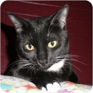 Domestic Shorthair Cat for adoption in Phoenix, Arizona - Avery