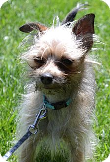 Yorkie, Yorkshire Terrier Mix Dog for Sale in Simi Valley, California - Robbie
