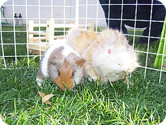 Guinea Pig for Sale in Costa Mesa, California - Moriko and Anzan
