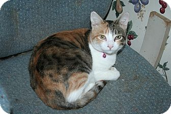 Calico Cat for Sale in SantaRosa, California - Charlotte