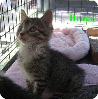 American Shorthair Kitten for Sale in New York, New York - Bruce