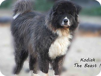 Newfoundland/Akita Mix Dog for Sale in Hamilton, Montana - Kodiak