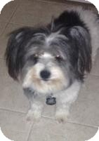 Skye Terrier/Lhasa Apso Mix Dog for Sale in Gainesville, Florida - Stefano