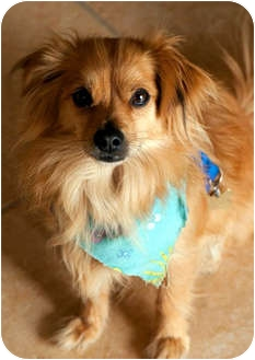 Pomeranian/Chihuahua Mix Dog for adption in Los Angeles, California - RIGGS