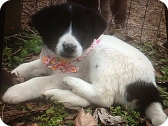 Border Collie Mix Puppy for Sale in Somers, Connecticut - Missy - such a beauty!